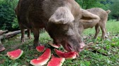 sows : Children piglets are eating watermelon peels