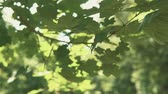wind gust : Wind blowing vibrant leaves in slow motion with copyspace Stock Footage