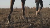 Young girl taking on walk her dark horse by reins on sunrise. View of legs.