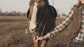Young girl taking on walk her dark horse by reins on sunrise. Horse walking Vidéos Libres De Droits
