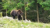 male animal : A large black bear in forest