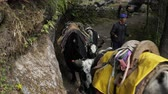 yak : NAMCHE, NEPAL - OKTOBER 22, 2017: Tourists, porters and yaks are moving along the path leading to the base camp of Everest on oktober 22, 2017 in Namche, Nepal