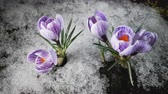 perce neige : Early spring. Snow melting and crocus flower blooming. Time lapse. Close up