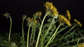 semena : Dandelion flowers bloom in the spring. Black background. Time lapse. Close up 4K