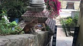 çevik : A family of monkeys in the city of Kathmandu. In the middle of the city of Kathmandu there are many monkeys. Especially a lot of monkeys live near the Buddhist temple of Swayambhunath.