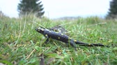 도마뱀 : Pregnant European fire salamander lives in the wild. This is a black lizard with yellow spots. 4K