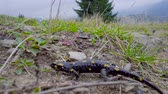 úmido : Pregnant European fire salamander lives in the wild. This is a black lizard with yellow spots. 4K