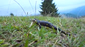 fire salamander : Pregnant European fire salamander lives in the wild. This is a black lizard with yellow spots. 4K