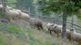 karpaty : Flock of sheep goes to pasture. Carpathian mountains, Ukraine, Europe 4k Dostupné videozáznamy