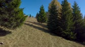 karpaten : Flying between trees in the forest. Beautiful nature of the Carpathian Mountains. 4K