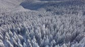 forest drone : Aerial flight over winter landscape and snow covered trees. Snowy tree branch in a view of the winter forest. Aerial footage, 4K