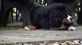 arquejo : Bernese Mountain Dog waiting for its owner Vídeos