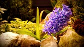 se movendo para cima : Purple flowering Hyacinth plant. The camera moves back on the slider