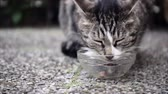 madeira de lei : De focusing. Feeding Cute Domestic Short hair Cat. Tabby Cat in Garden Stock Footage