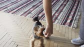 jorkšírský : close-up Little dog yorkshire terrier with owner spend a day at the home playing and having fun