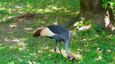 article : crowned crane on meadow