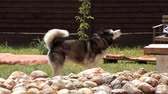 zdziwienie : Husky by the pool at the backyard Wideo