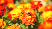 Bumblebee pollinating flower tagetes Stok Video