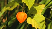 Orange lantern of physalis alkekengi among green leaves