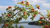 Rosehip bushes branch over nice lakeshore landscape