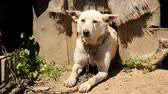 guardian dog : Chained watch dog laying next to kennel Stock Footage