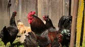 chicken wings : Free range chickens roam the yard on a farm Stock Footage