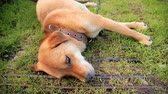 guardian dog : Friendly chained watch dog laying