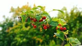 framboesa : September branch of raspberry