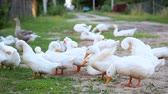 influenzy : White farm ducks by the countryside road