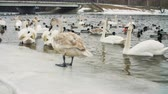 утка : Swans on water by the riverbanck during winter Стоковые видеозаписи