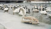graceful : Swans on water by the riverbanck during winter Stock Footage