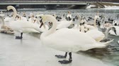 kaczka : Swans on water by the riverbanck during winter Wideo