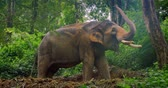 mammal : Elephant in jungle rain forest in Thailand 4k video