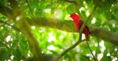 red : Tropical forest paradise wild life. Red parrot bird on tree branches 4k video Stock Footage