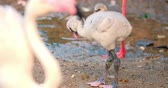 little : Small flamingo chick walks near pond. Sound of parents