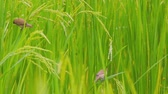 background : Organic rice farming in Thailand Stock Footage
