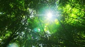 yaprak döken : Lens flare effect and camera rotation in green tropical rain forest. Peaceful nature background Stok Video