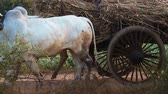 travel : Two white Asian buffaloes with bullock cart loaded with dry grass moving on country road of rural countryside of Myanmar Burma near Bagan