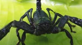 creepy : Big black scorpion close up HD video. Toxic animal in Asian jungle forest