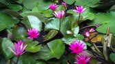 flora : Pond with water lilies blooming. Time lapse video