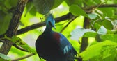 Виктория : Graceful and beautiful Victoria Crowned Pigeon with topknot and red eyes on tree branch in tropical forest