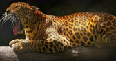 jaguar : Spotted Leopard yawns and shows big fangs close up 4K video Stock Footage