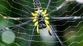 creepy : Large spider close up background in tropical forest Stock Footage