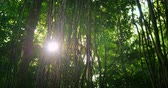 liána : Sunlight beam flicker through leaves and trees of rainforest canopy in jungle