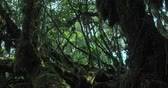 mysterious : Large mossy trees in dark spooky forest in deep and dense lush of wilderness Stock Footage