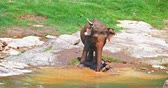 srilankan : Cheerful wild elephant pouring water and mud on itself to protect from sun heat