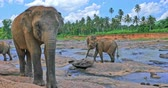 srilankan : Curious wild large Sri Lankan elephant looking in camera and walks in Pinnawala