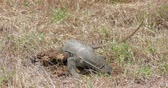 salvator : Wild Monitor Lizard digging  worms and eats them in Yala national park Sri Lanka