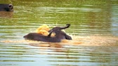 travel : Slow motion video of wild buffalo splashes lake water to get rid from flies