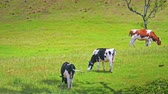 weather : Group of dairy cows on green fresh grass of summer meadow on sunny day. Domestic animals grazing on valley